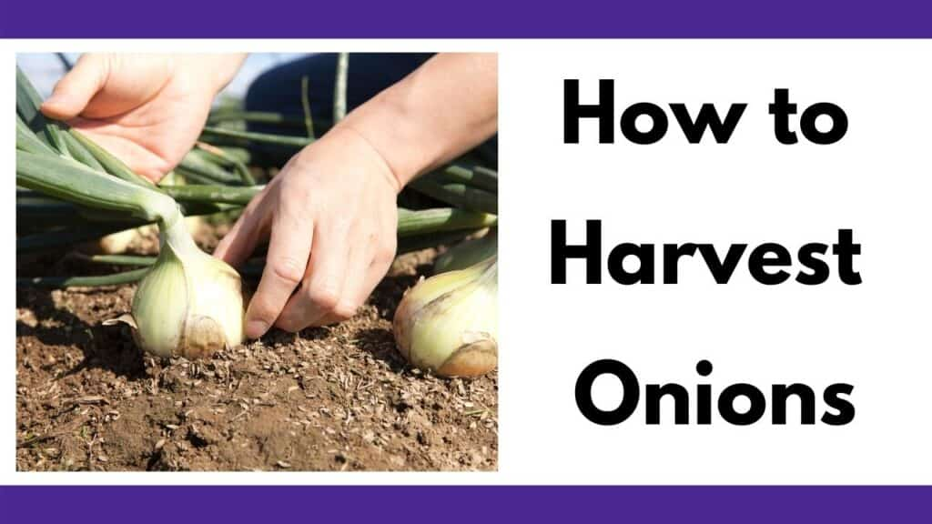 """Text """"how to harvest onions"""" next to an image of a person's hands pulling an onion out of the soil"""
