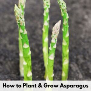 """text overlay """"how to plant and grow asparagus"""" over an image of asparagus spears emerging from dark soil"""