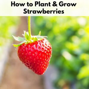 """text overlay """"how to plant & grow strawberries"""" on an image of a single ripe strawberry hanging from a stem"""