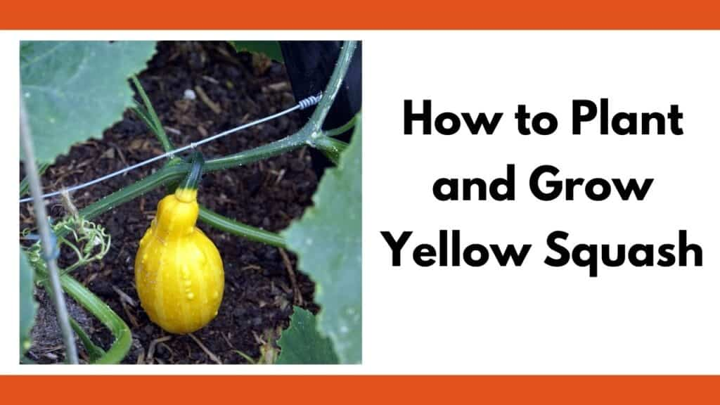 "Text ""how to plant and grow yellow squash"" next to a close up image of a yellow squash growing on a vine."