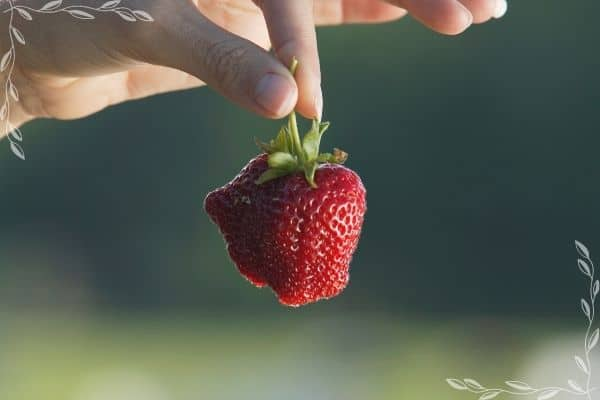 A picture of a woman's hand holding a strawberry by the stem. The berry has bumps and crevices as a result of poor pollination.