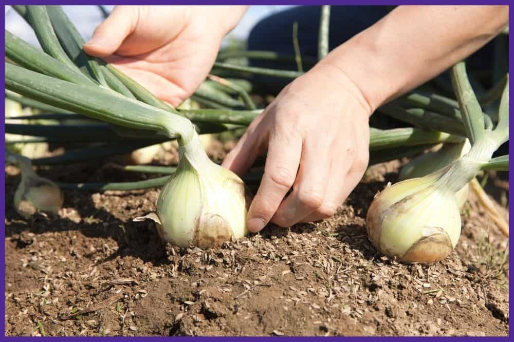 A close up of a person's hand grasping an onion bulb near the base to remove it from the ground.