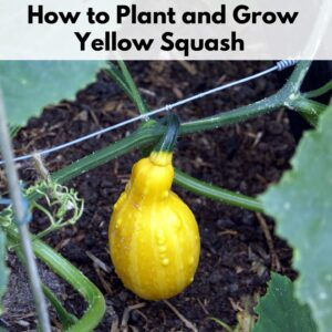 "text overlay ""how to plant and grow yellow squash"" on the top of an image of a yellow squash growing on a vine"