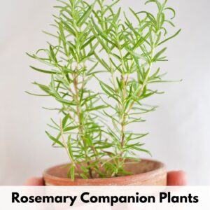 text overlay 'rosemary companion plants' at the bottom of an image of hands holding a small terra cotta pot with a young rosemary plant