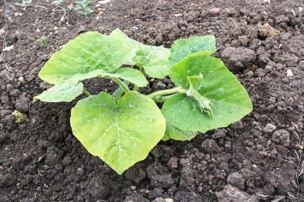 A close up of a young squash seedling with about give leaves and no blossoms