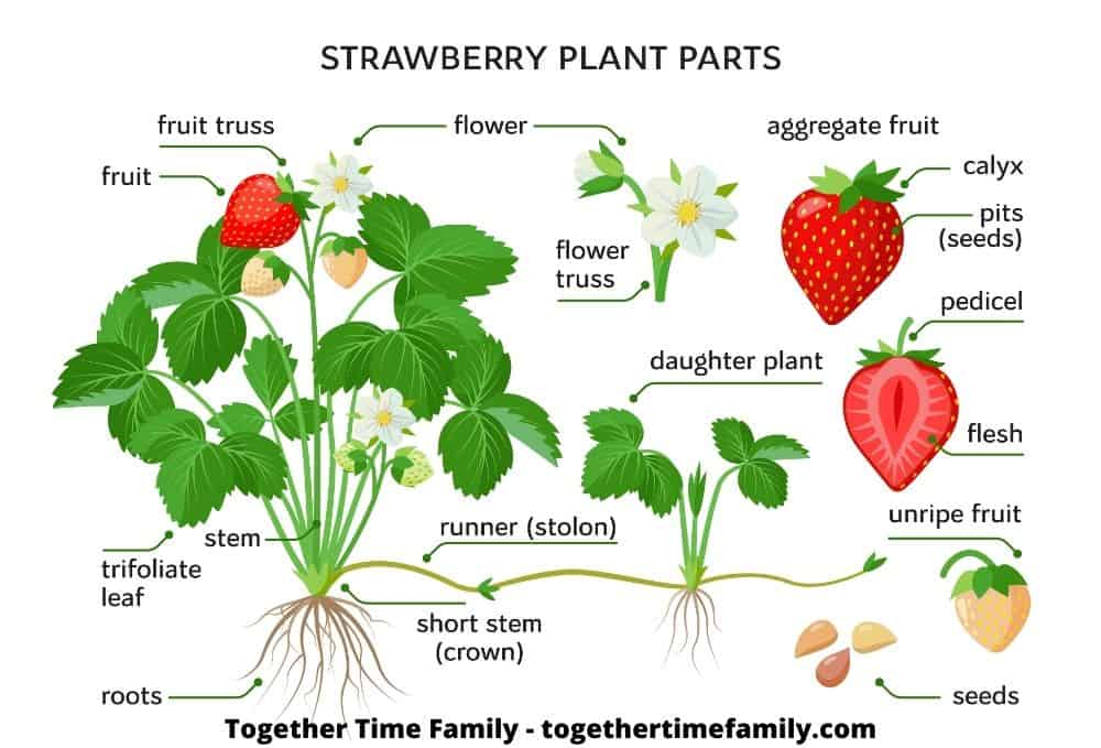 An illustration of a strawberry plant's anatomy including the fruit, fruit truss, flower, runner, roots, daughter plant, and aggregate fruit.