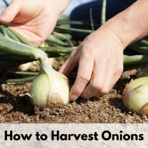 "Text overlay ""how to harvest onions"" on the bototm of an image of a person grabbing an onion's bulb near the base in preparation to pull it form the soil"