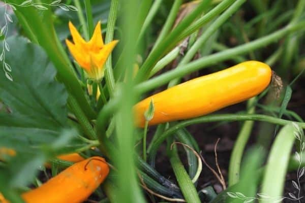 A close up of a yellow squash plant growing. There are three partially visible fruits and one open male blossom.