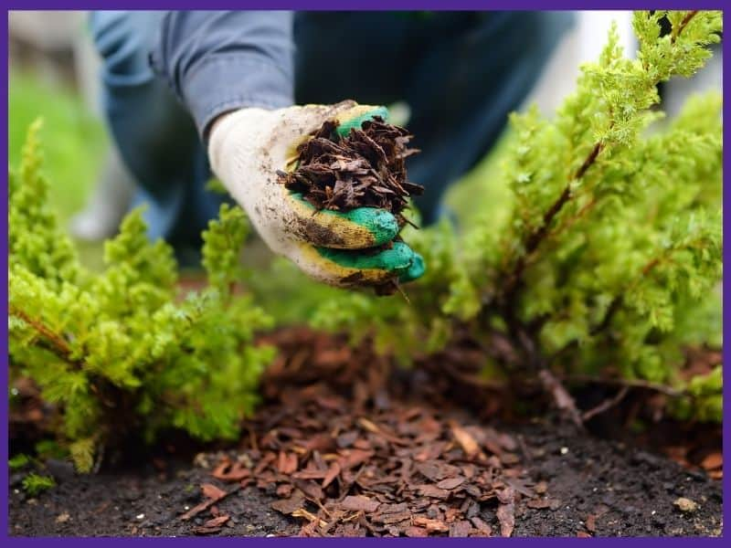 A close up image of a gardener's hand wearing a glove applying wood mulch around a plant