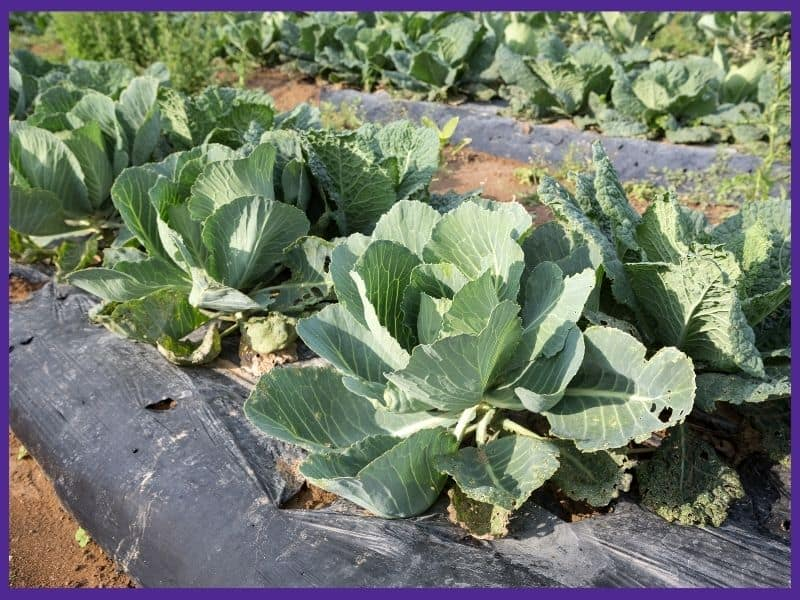 a row of cabbages growing through black plastic mulch