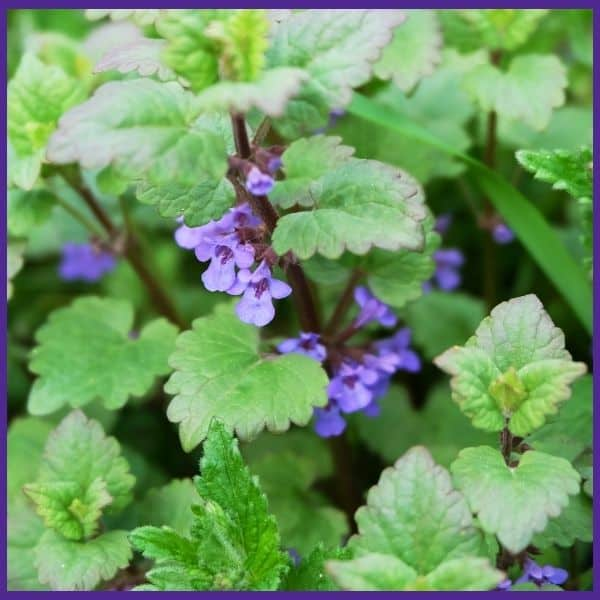 A close up of a catnip plant with purple flowers
