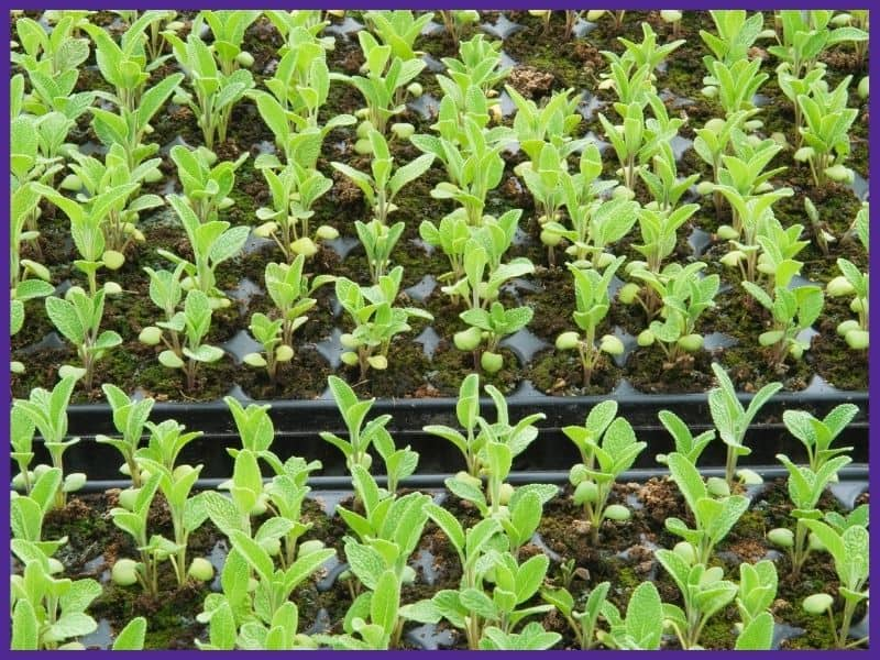 A close up of many sage seedlings growing one to a ell in three seedling flats placed side by side.