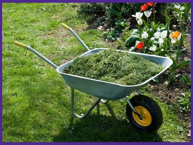A wheelbarrow of grass clippings in front of a bed with blooming flowers