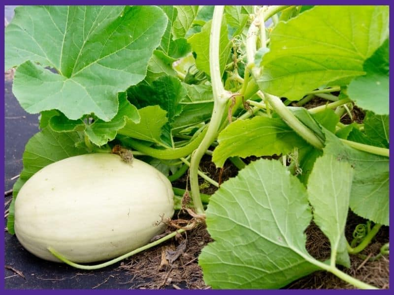 a green spaghetti squash on a vine laying on the dirt