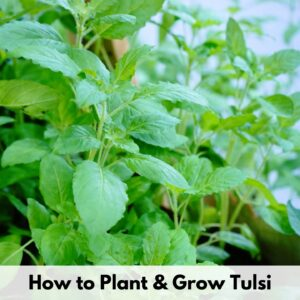 "text overlay ""how to plant and grow tulsi"" over a picture of tulsi basil growing"