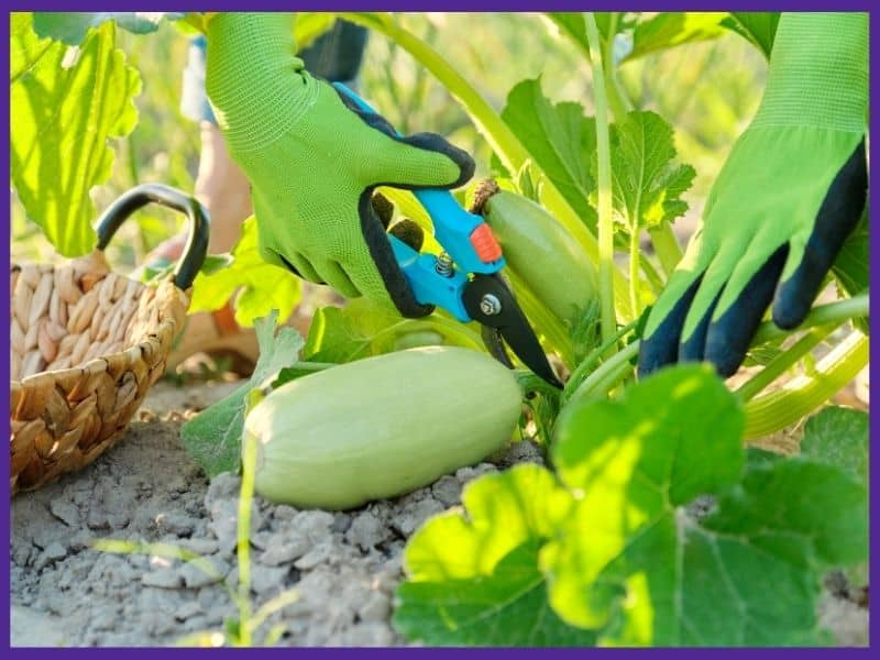 an image of hands wearing green gloves using a large pair of clippers to harvest a zucchini