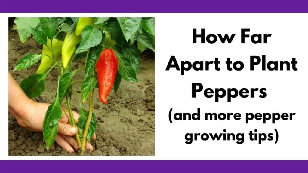 """text """"how far apart to plant peppers (and more pepper growing tips)"""" next to an image of a person holding the base of a large pepper plant. The plant has three green peppers and one red pepper."""