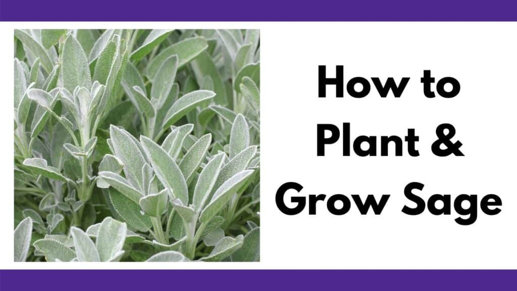"""text """"how to plant and grow sage"""" next to a close up image of a sage plant with silvery leaves"""