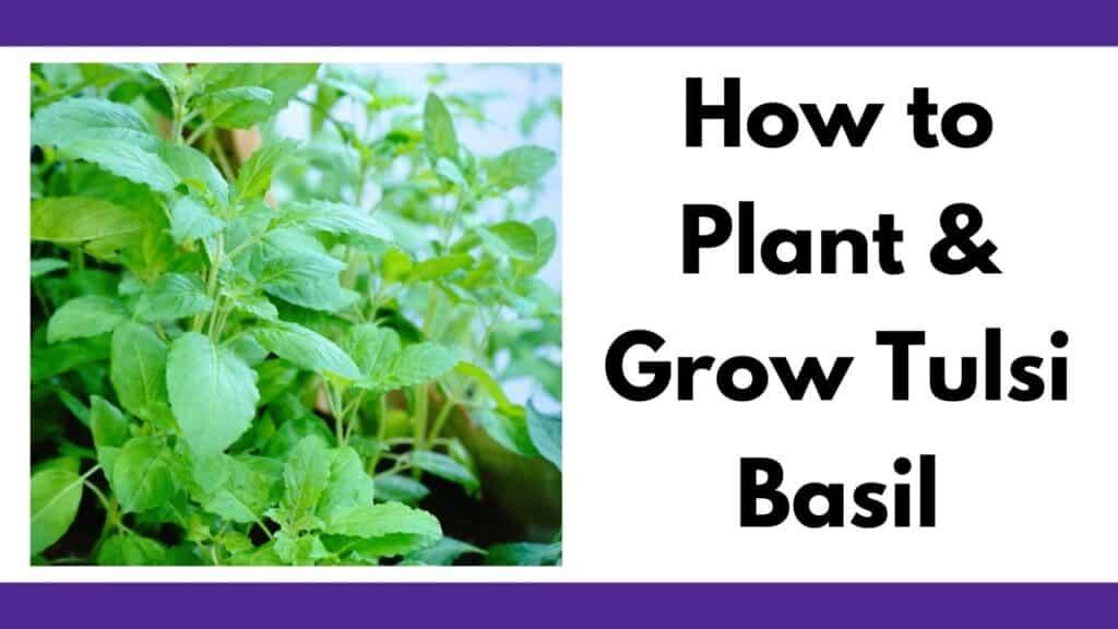 "Text ""how to plant and grow tulsi basil"" next to a close up image of tulsi basil growing"