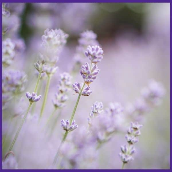 a soft, close up photo of flowring purple lavender