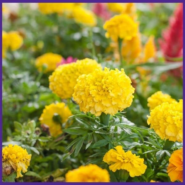 a close up of flowering yellow marigolds