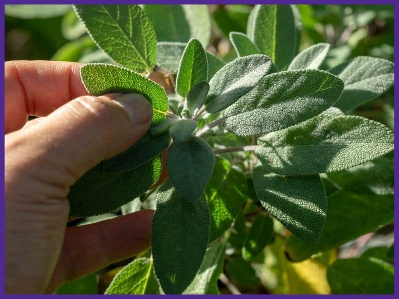 A hand preparing to pick a sage leaf from a plant
