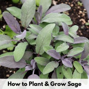 "text overlay ""how to plant and grow sage"" above a close up, top down image of purple sage growing in a white pot"