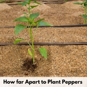 "text overlay ""how far apart to plant peppers"" next to a pepper growing through mulch next to a soaker hose"