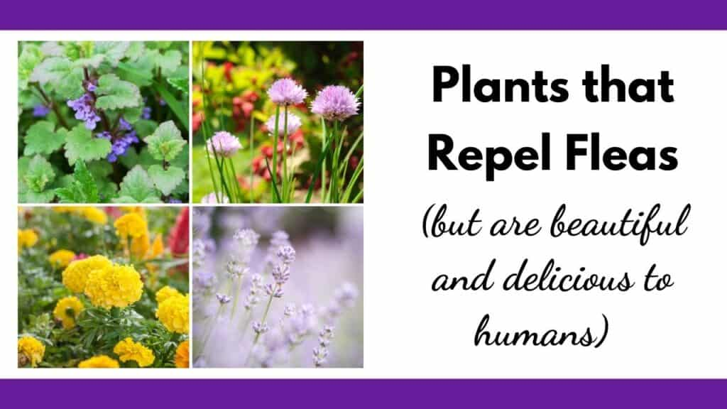 """text """"plants that repel fleas (but are beautiful and delicious to humans)"""" next to a 2x2 grid of flower images. Plants are: catnip, chives, marigold, and lavender"""