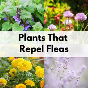 "Text overlay ""plants that repel fleas"" over a 2x2 grid of images. Plants in the images are: catnip, chives, marigolds, and lavender"