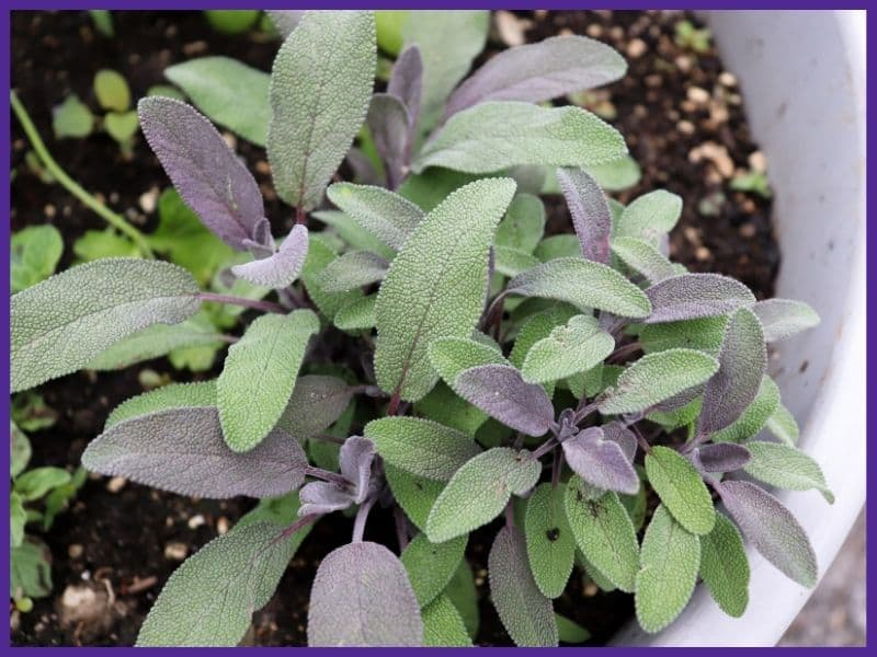 A top down view of a purple sage plant growing in a white pot