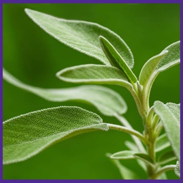 a close up of a sage plant with silvery green leafs