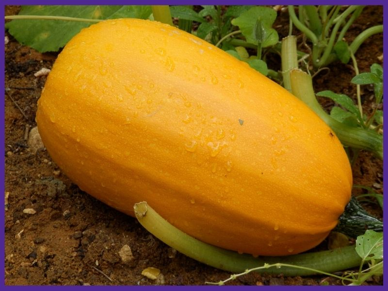 a ripe, golden yellow spaghetti squash on the ground