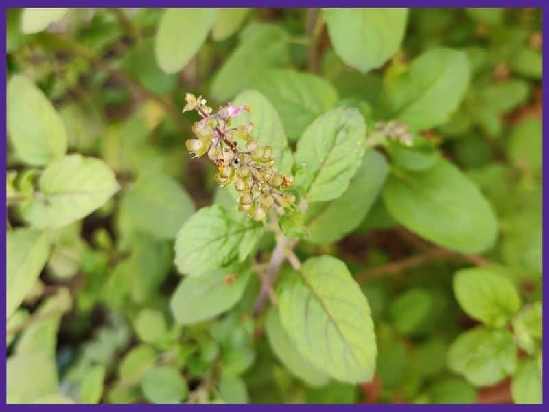 A close up of a flowering tulsi basil plant.