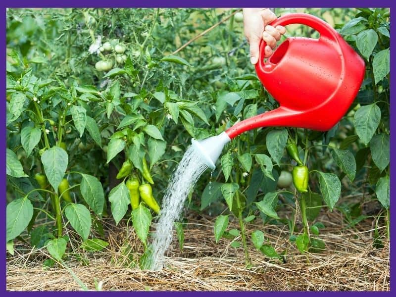 A woman's hand holding a red plastic watering can to water growing pepper plants. The plants are mulched with straw.