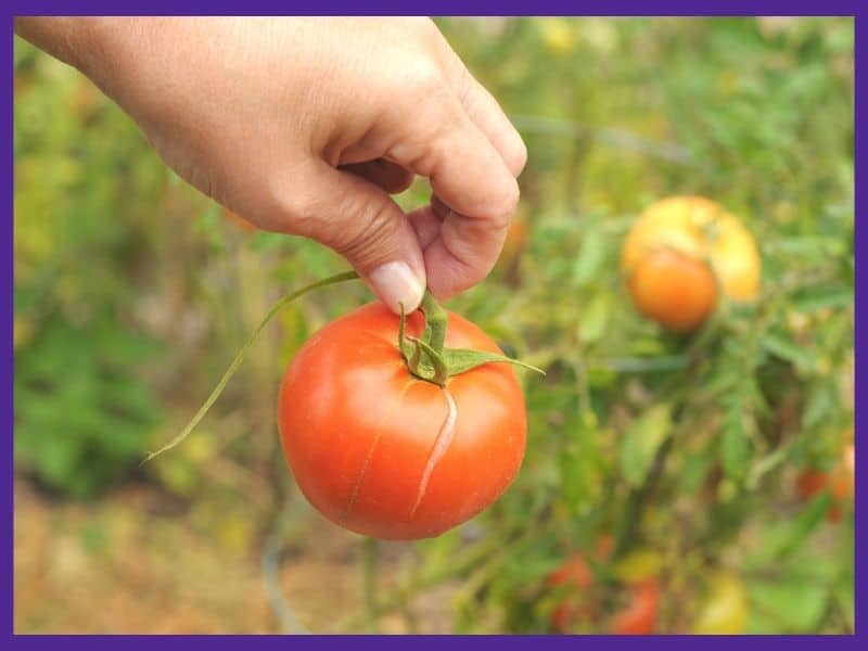 A hand holding a cracked tomato. The tomato has a dangling, torn piece of vine hanging from it.