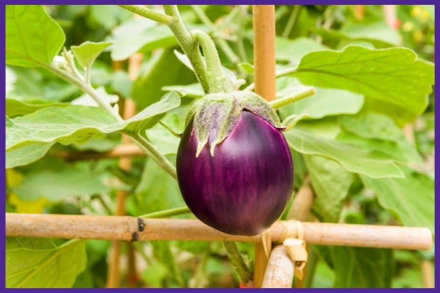 A small purple eggplant growing on a vine trellised to a bamboo support