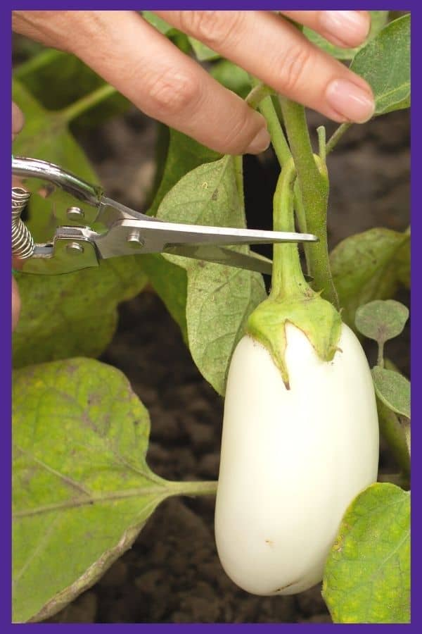A pair of garden snips poised to harvest a white eggplant