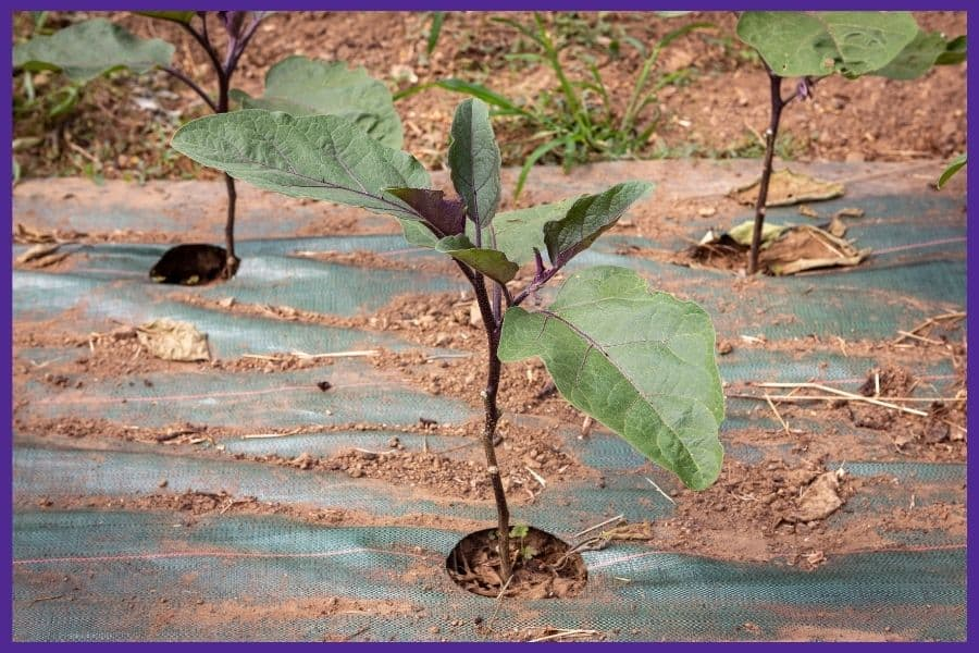 Three eggplant seedlings in the ground growing through holes in black plastic mulch