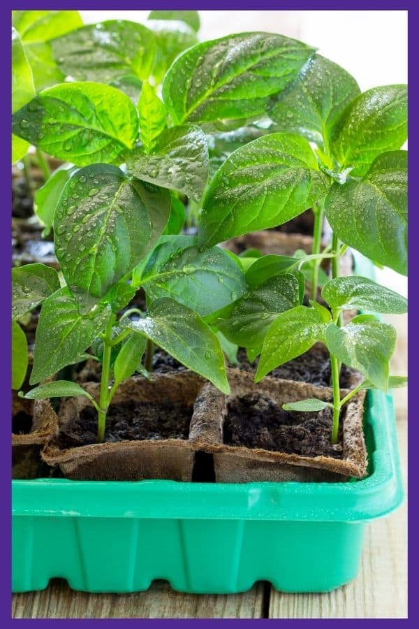 A close up of eggplant seedlings. Each seedling is in a coconut coir pot inside of a larger green plastic tray