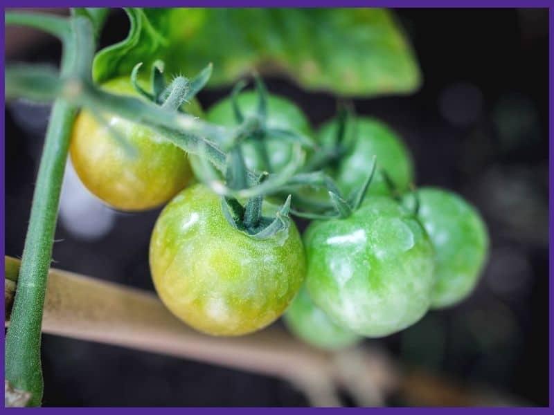 Cherry tomatoes on the vine. They are glossy green with two starting to turn yellow.