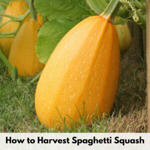 """text overlay """"how to harvest spaghetti squash"""" over an image of a ripe spaghetti squash on grass"""