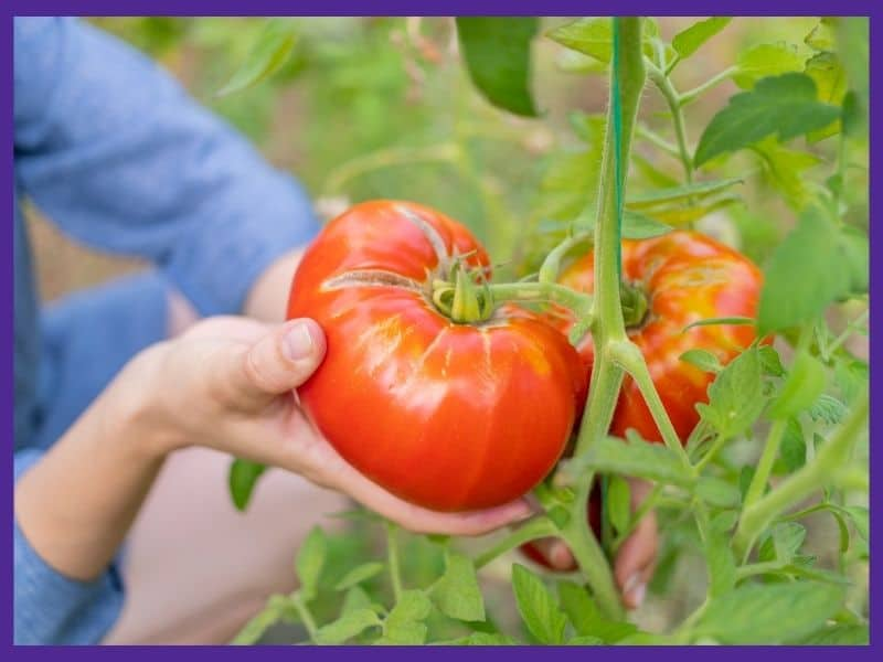 A woman's hand holding a very large, ripe tomato in preparation for harvesting it.