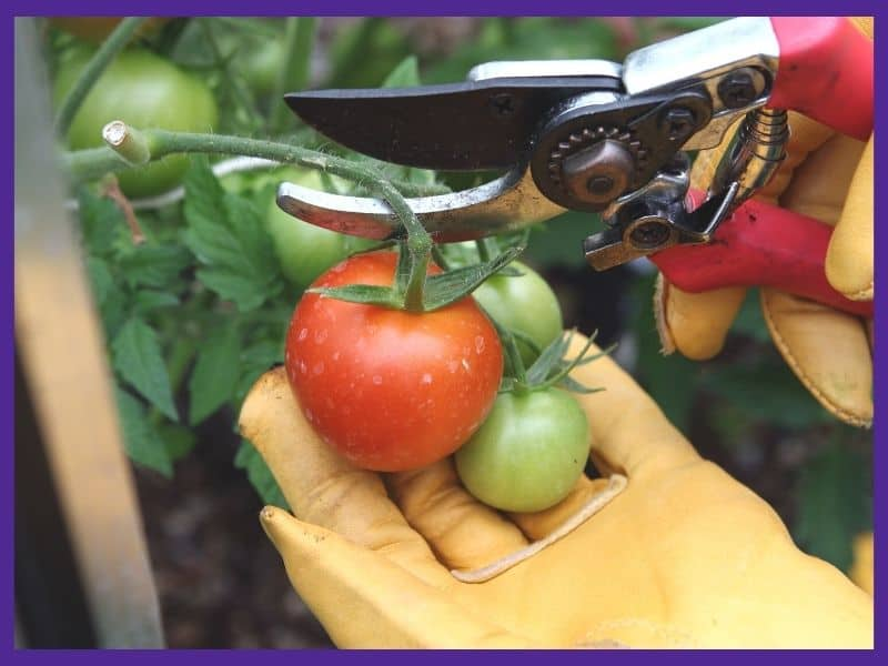 A pair of gloved hands harvesting tomatoes. The left hand is holding a ripe tomato while the right hand uses shears to cut the vine