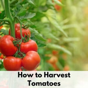 """text overlay """"how to harvest tomatoes"""" over an image of a truss of ripe tomatoes growing on a tomato plant"""