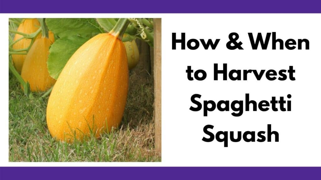 "text ""how and when to harvest spaghetti squash"" next to an image of a large, ripe, golden spaghetti squash sitting on grass"