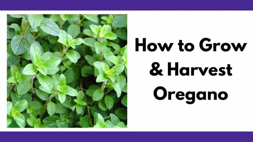 """A close up picture of a growing oregano plant next to the text """"how to grow and harvest oregano"""""""