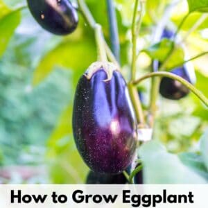 "text overlay ""how to grow eggplant"" over an image of a purple glossy eggplant growing on a plant"
