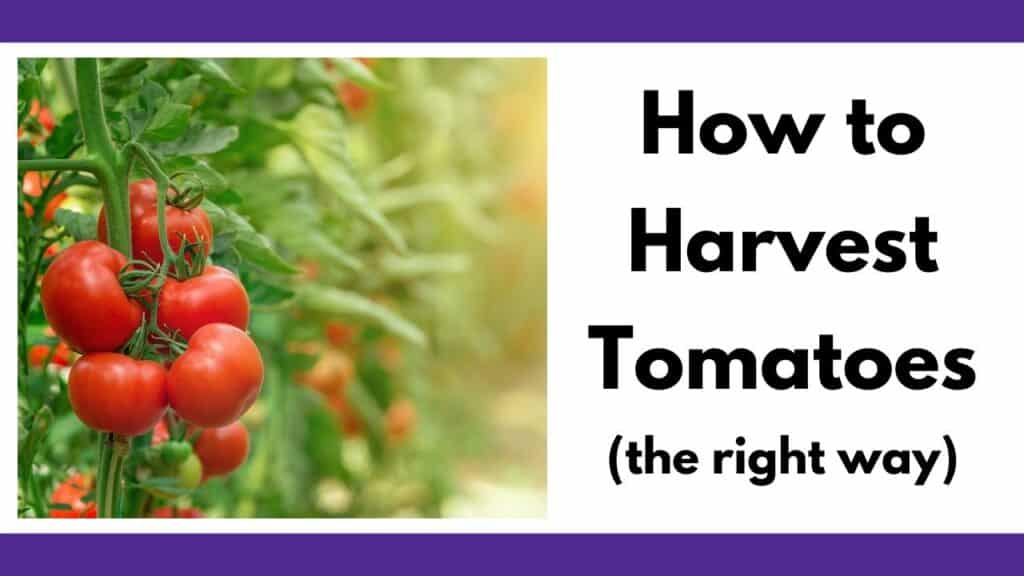 """On the right is a picture of a truss of red ripe cherry tomatoes. On the left is the text """"How to harvest tomatoes (the right way)"""""""
