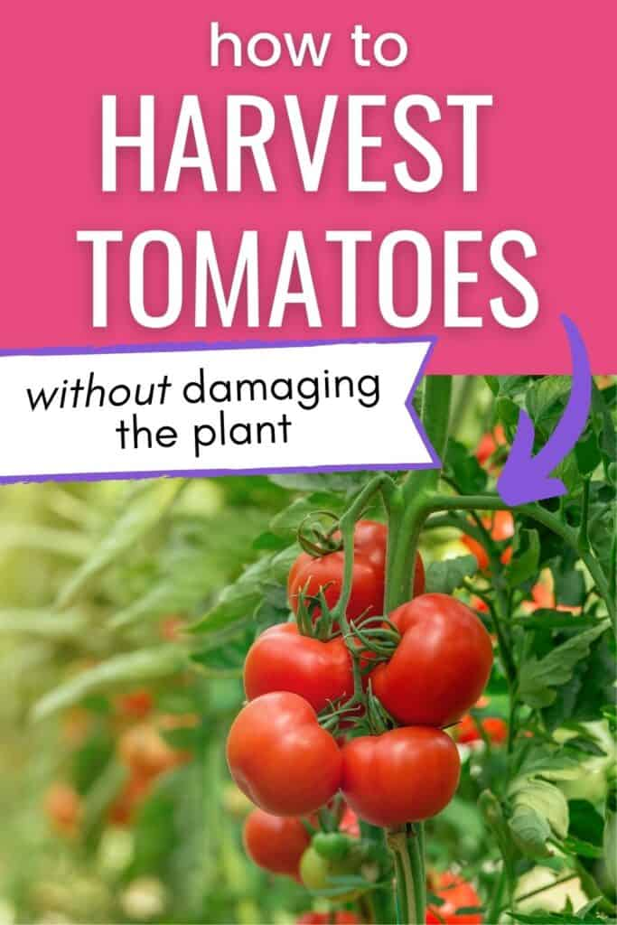 """Text """"how to pick tomatoes without damaging the plant"""" above an image of a cluster of ripe red tomatoes on the vine."""